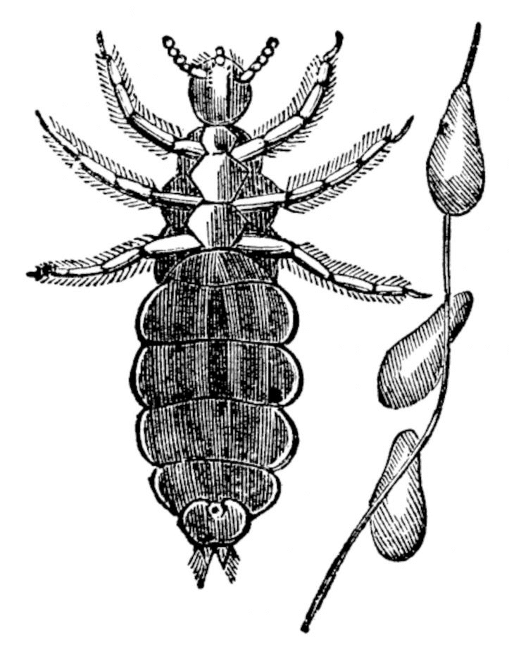 sketch of a lice